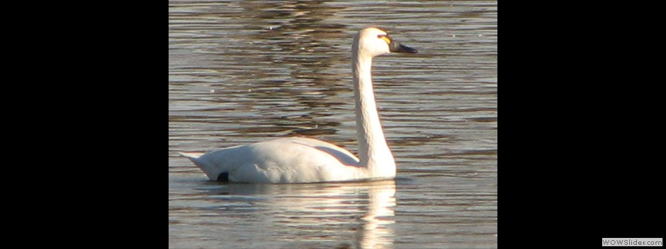 Tundra Swan  by Jim Dixon