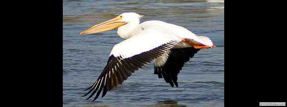 American White Pelican by Robert Herron